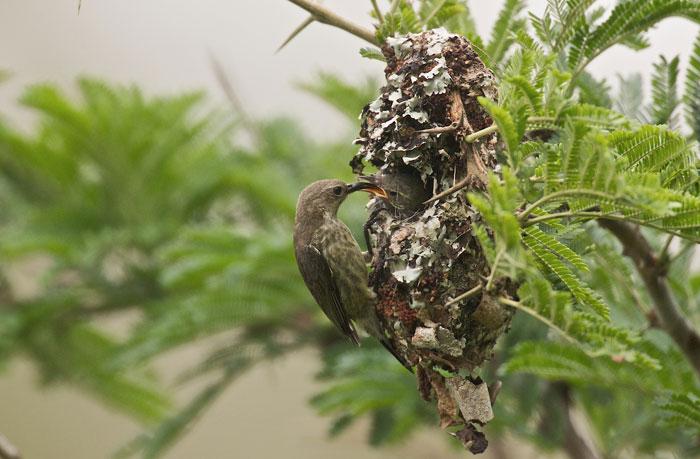 Purple-banded-sunbird-Acacia-tree
