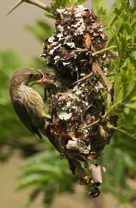 Purple-banded-sunbird-chick