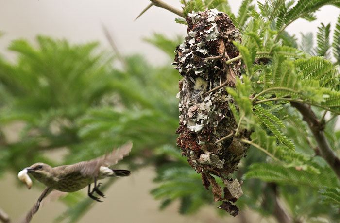 Purple-banded-sunbird-worm-nest