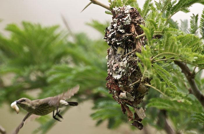 Purple-banded-sunbird-worm-nest