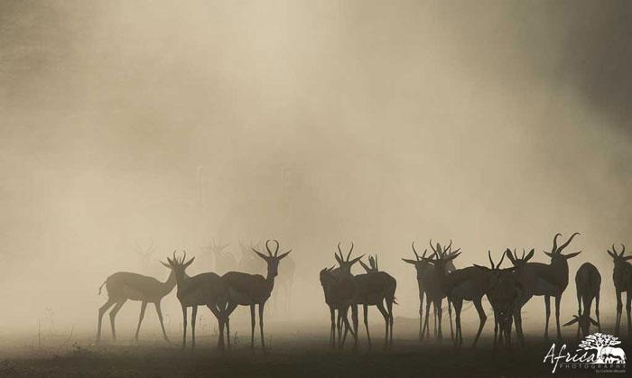Springbok-Africa-Photography
