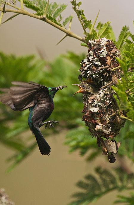 Sunbird-KwaZulu_natal