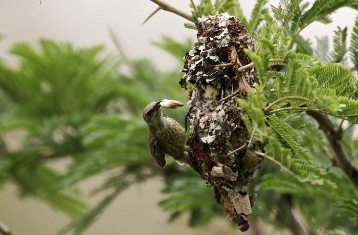 Sunbird-maggot-chick