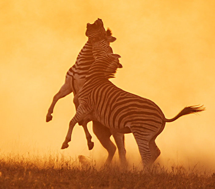 zebras in africa Learn more about grevy's zebras view pictures, video, and facts, and find out what awf is doing to preserve this species.
