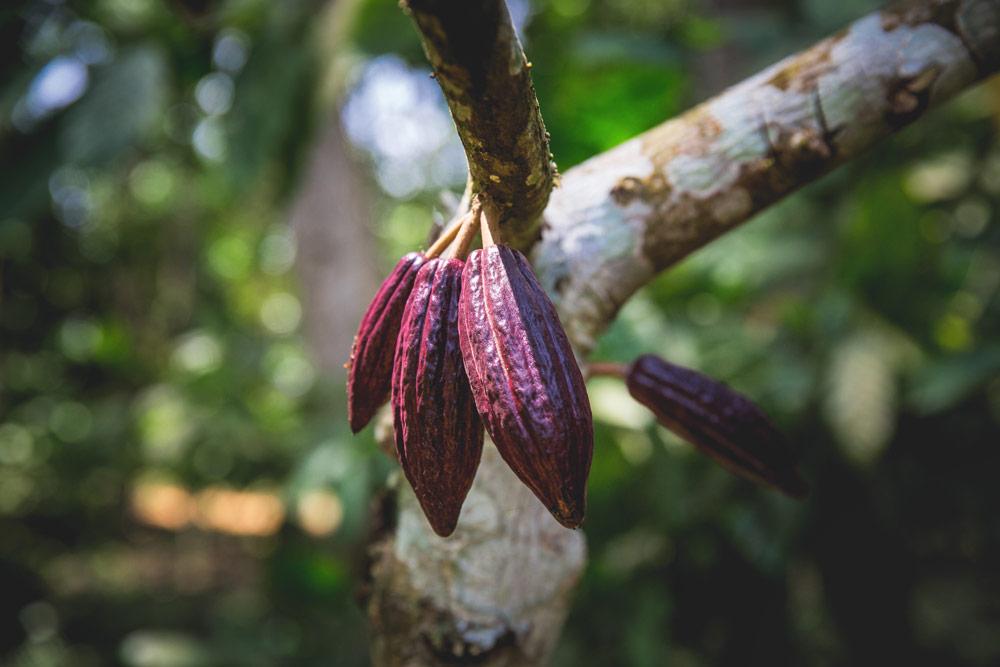 cocoa-plant-sao-tome-Artur-Cabral-CZ3B2832-Editar