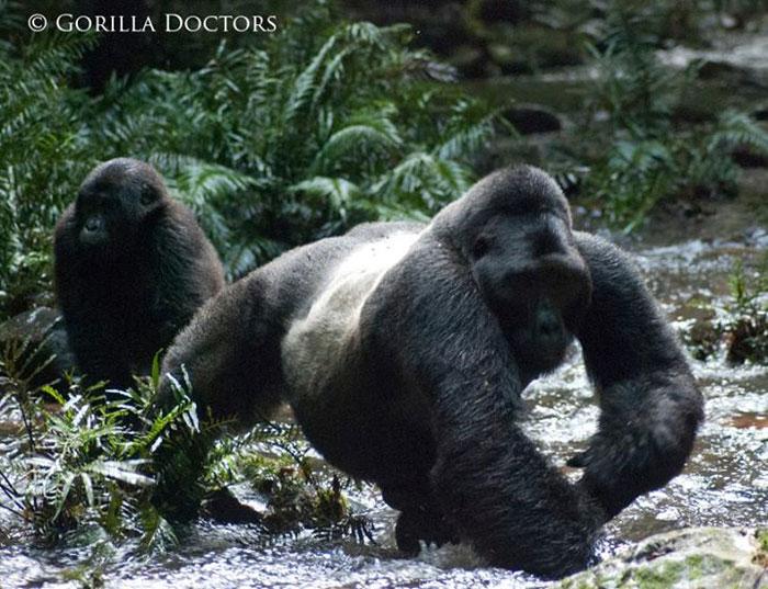 gorilla-doctors