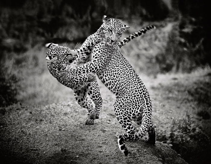This leopard were taken with a 70-200mm lens - a great action lens.