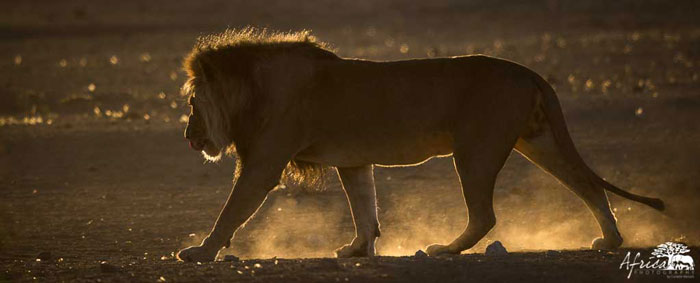 lion-male-Africa-Photography-Corlette-Wessels