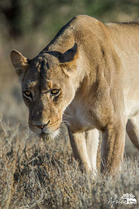 lioness-Africa-Photography-Corlette-Wessels