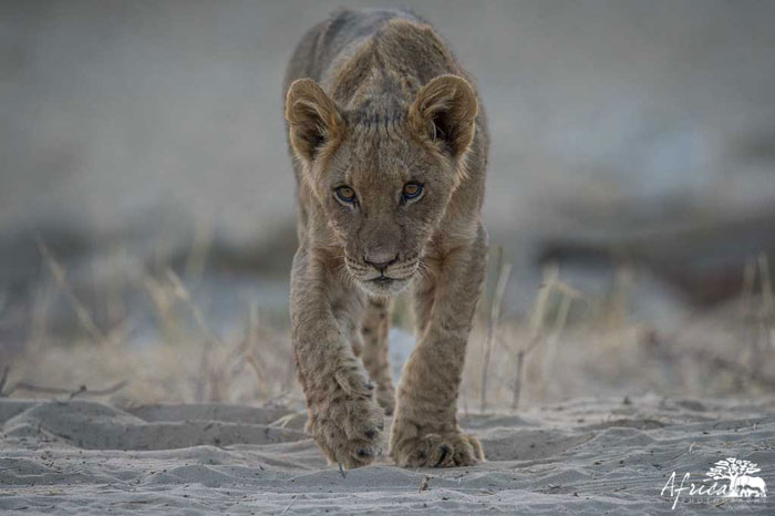 lioness-Africa-Photography