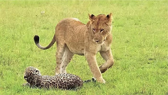 leopard/lion hybrid | Natural History