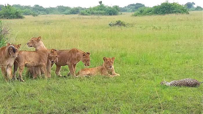 lionesses-kill-leopard-uganda