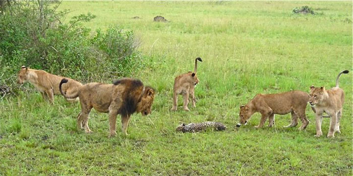 lions-kill-leopard