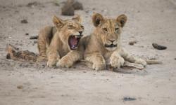 mana-pools-lions1