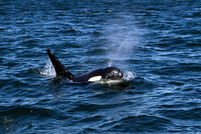 Cape-Point_orca