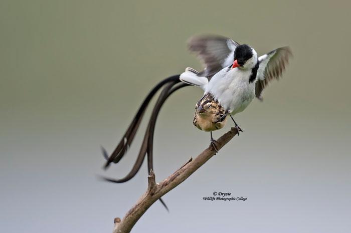 Cloacal-Kiss-Dryzie-bird