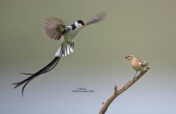 Dryzie-bird-whydah