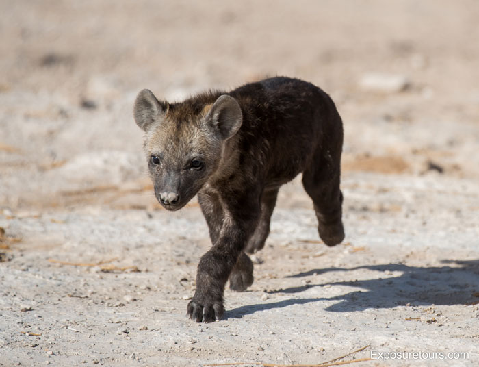 Exposure-Tours-hyena-puppy