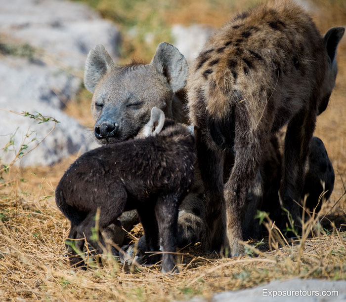 Exposure-Tours-spotted-hyena