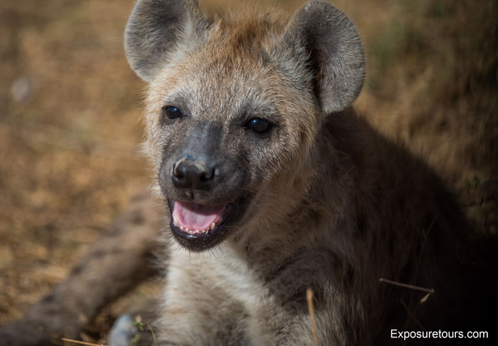Exposure-Tours-young-hyena