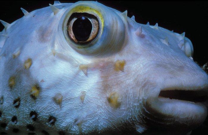porcupine-pufferfish