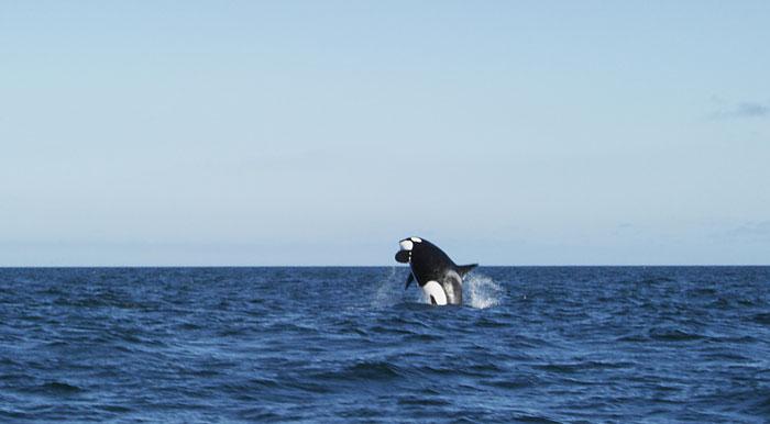 Killer-whale-jumping