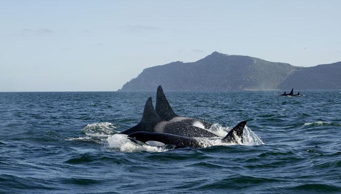 Killer-whales-Cape-Town