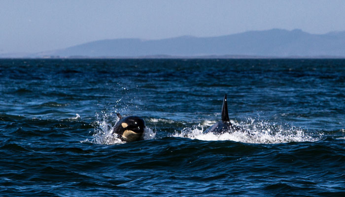 Killer-whales-Cape-Town_False_bay