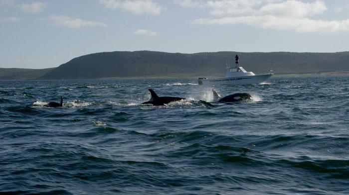 Killer-whales-Simons_town
