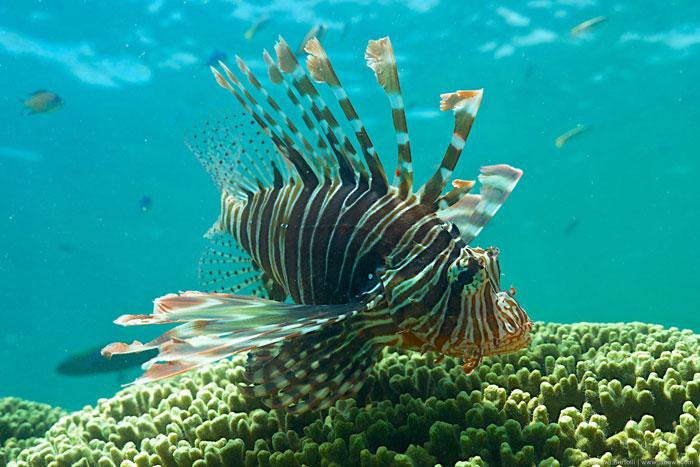 Lion-fish Lamu