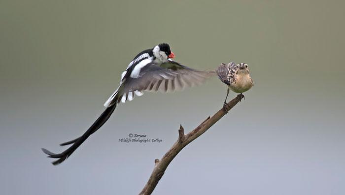 MArk-Drysdale-bird-photography