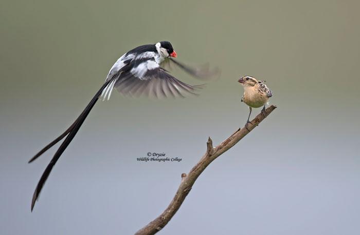 Male-whydah-Mark-Drysdale
