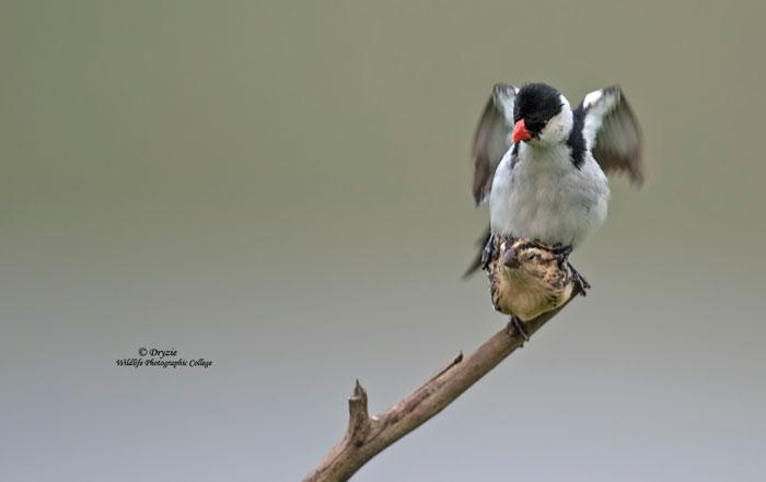 Mark-Drysdale-Whydah-mating