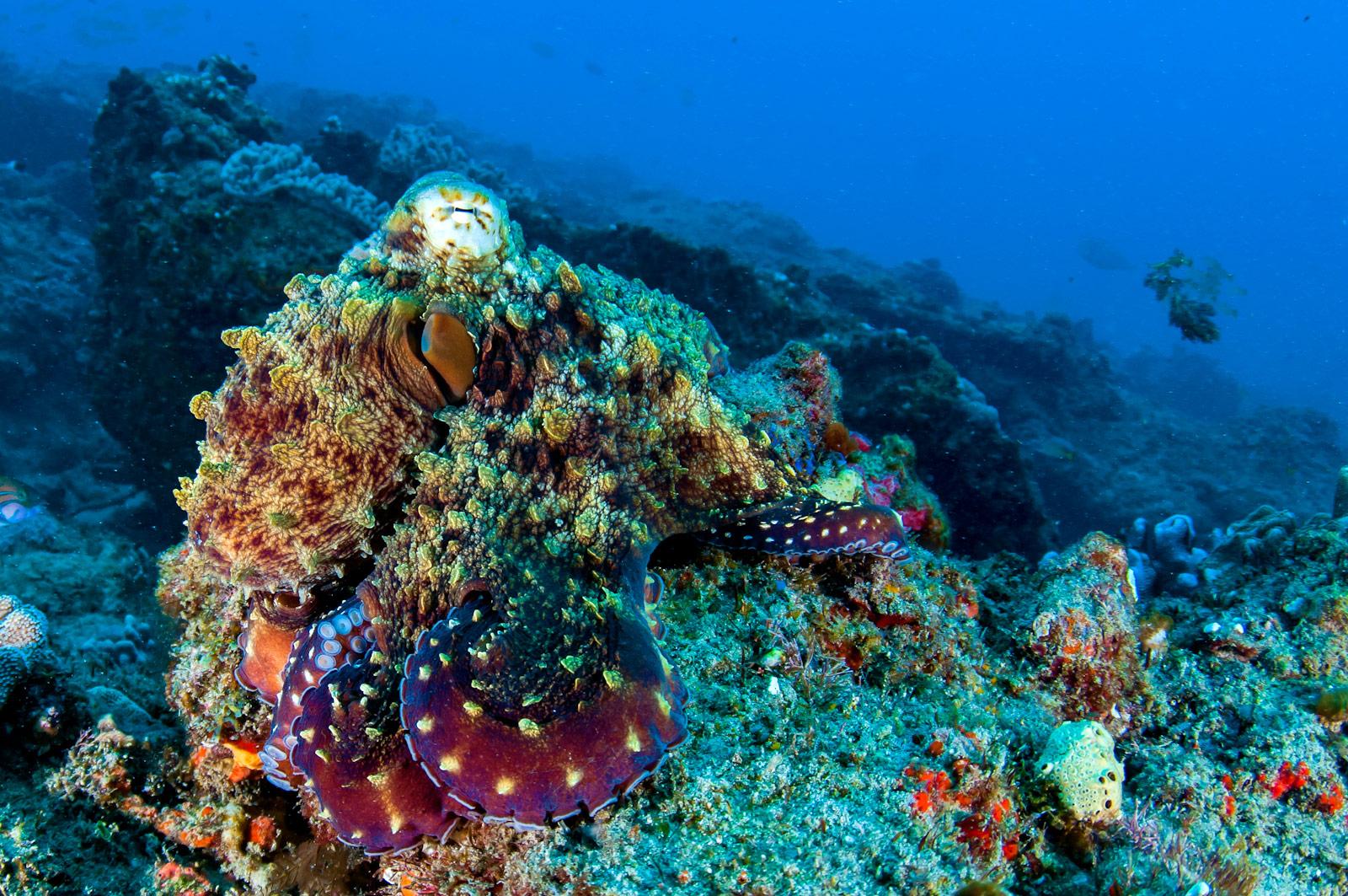 Octopus-east-african-coral-reefs-diving-DSC_8352-copy-2