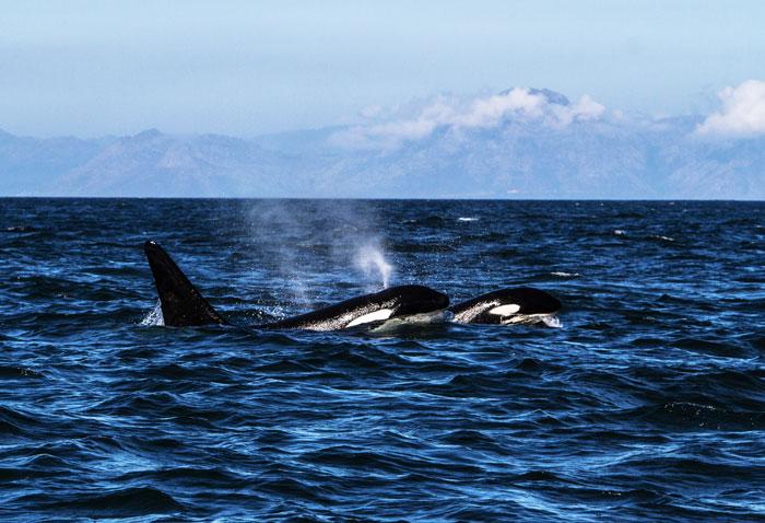 Orca-Buffels-Bay