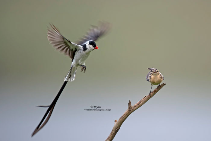 Pin-tailed-whydah