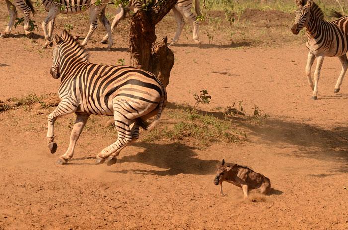 Zebra Attack Wildebeest Calf Africa Geographic