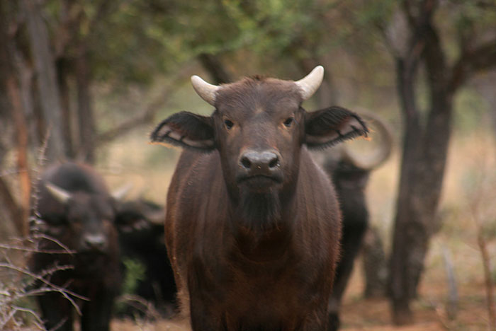 Chris Spillane/Bloomberg A buffalo bull calf named Manyara stands with other buffaloes at the Lumarie Game Farm in Limpopo province. Manyara is the half-brother of Horizon, South Africa's biggest-horned disease-free buffalo bull, who earned his name from his 55-inch wide horns.