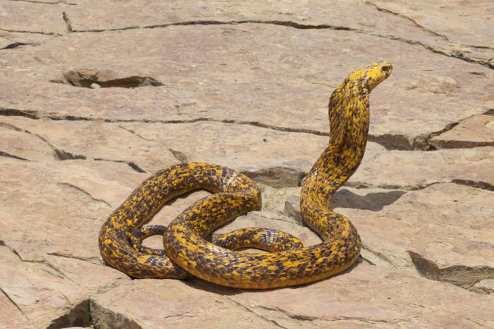 Which Snake Is Africa S Deadliest Africa Geographic