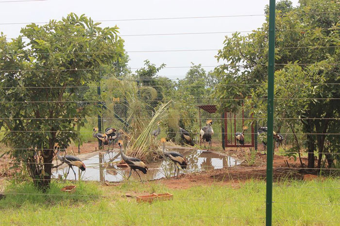 Grey Crowned Cranes in Rwanda