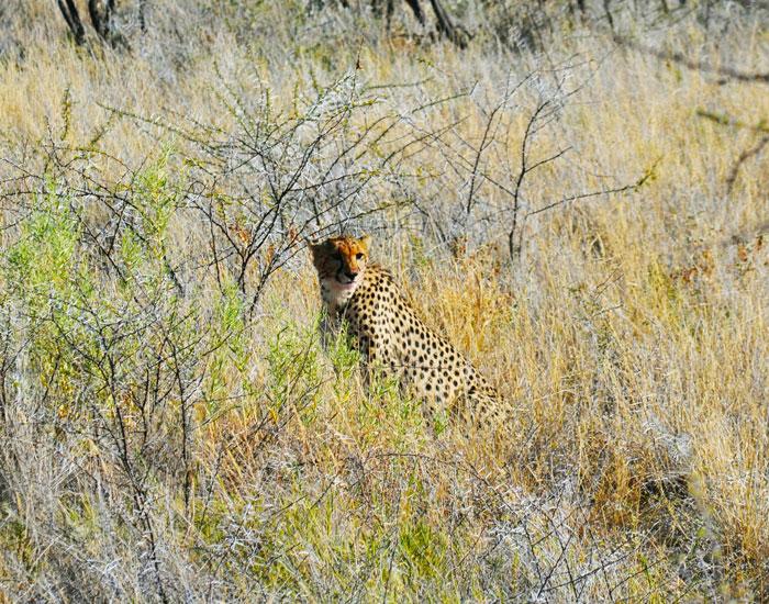 etosha-cheetah