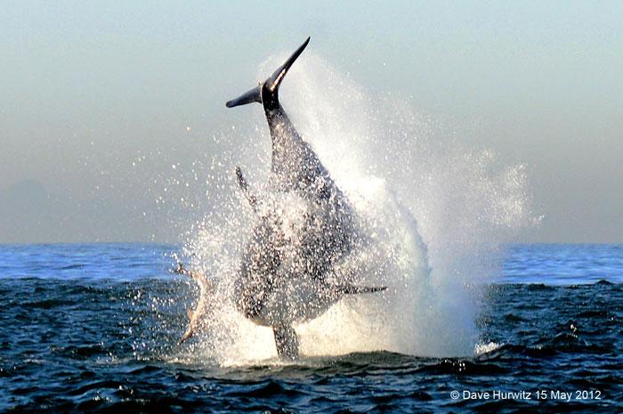 killer-whale-breach