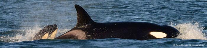 killer-whale-calf-cape-town