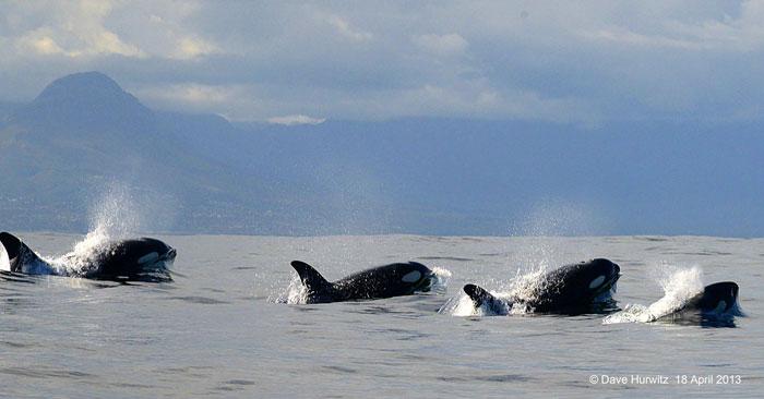killer-whale-cape-town