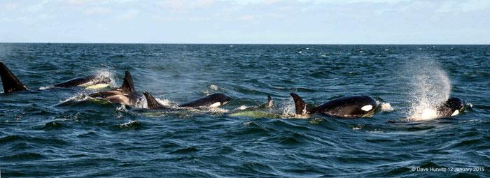 killer-whale-false-bay-south-africa