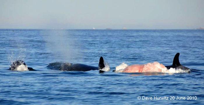 killer-whale-hunt-cape-town