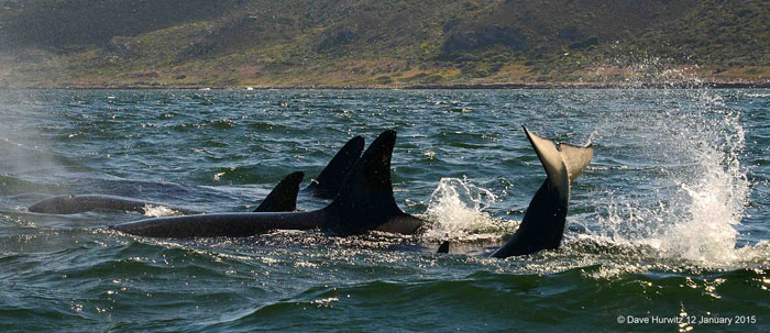 killer-whales-false-bay-south-africa