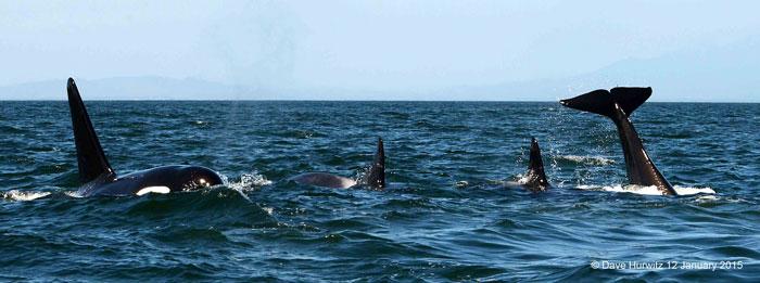 killer-whales-false-bay