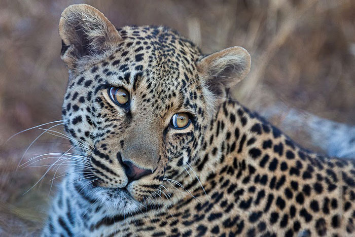 More leopards at Cheetah Plains - Africa Geographic