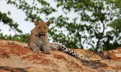 leopard-on-rock